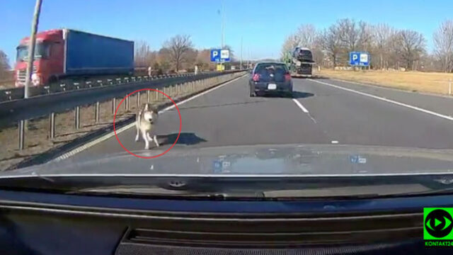 A dog on the A4 road.