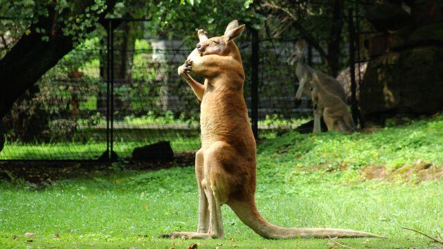 Kangur z warszawskiego zoo podziwia swoje mięśnie