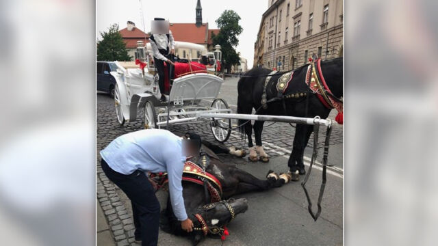 Koń upadł przed Wawelem. Sprawę bada policja