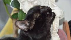 Selim ma ucho obcięte przy czaszce.jpg