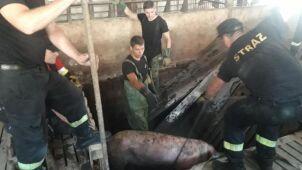Świnie wpadły do zbiornika z nieczystościami. Pomogli strażacy