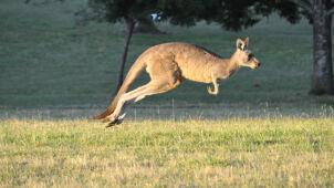 Chciał wysadzić w powietrze kangura i zabić ludzi. 10 lat więzienia