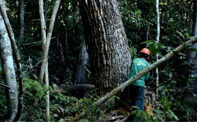 Wycinka puszczy amazońskiej przyspiesza