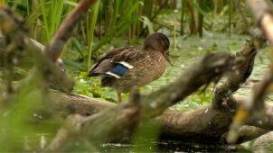 Sezon polowań na kaczki