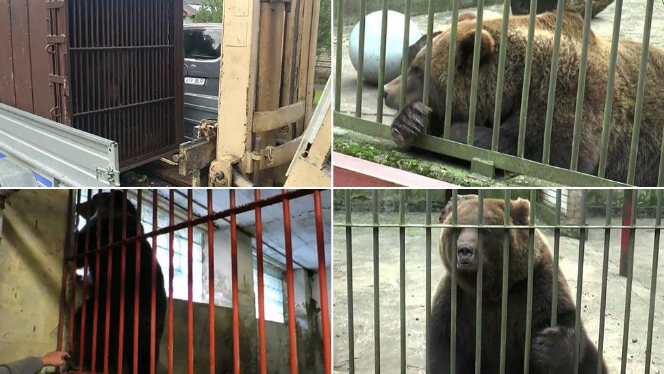 Niedźwiedź Prosza uciekł z Rosji i siał panikę  w Estonii. Złapany i odesłany z powrotem