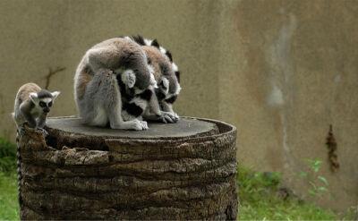 Małe lemury w rzymskim ZOO