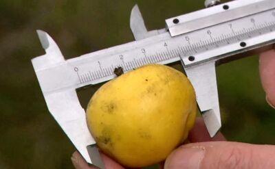 Zetną 15 jabłoni, bo ich owoce są zbyt duże