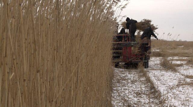 Mróz pozwolił żeby kombajny wyjechały na pola trzcinowe