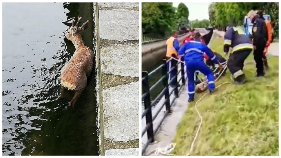 Jelonek wpadł do kanału. Pomogli mu ludzie