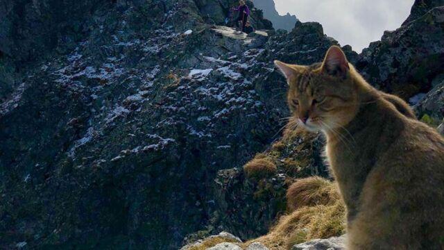 """Kot """"z duszą kozicy"""". Wszedł na Rysy, bułką z serem wzgardził"""