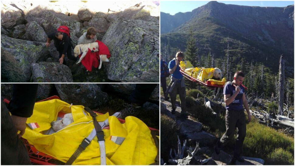 Szukali labradora 25 dni, leżał wycieńczony  w górach. Na noszach znieśli go goprowcy