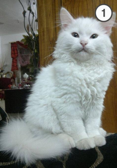 Kunkush jako kociak w Mosulu
