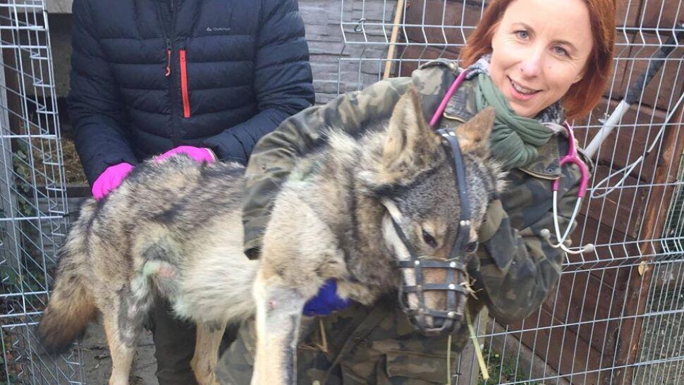 Uratowali młodego wilczka i po śladach DNA znaleźli jego matkę. Klincz wrócił do watahy