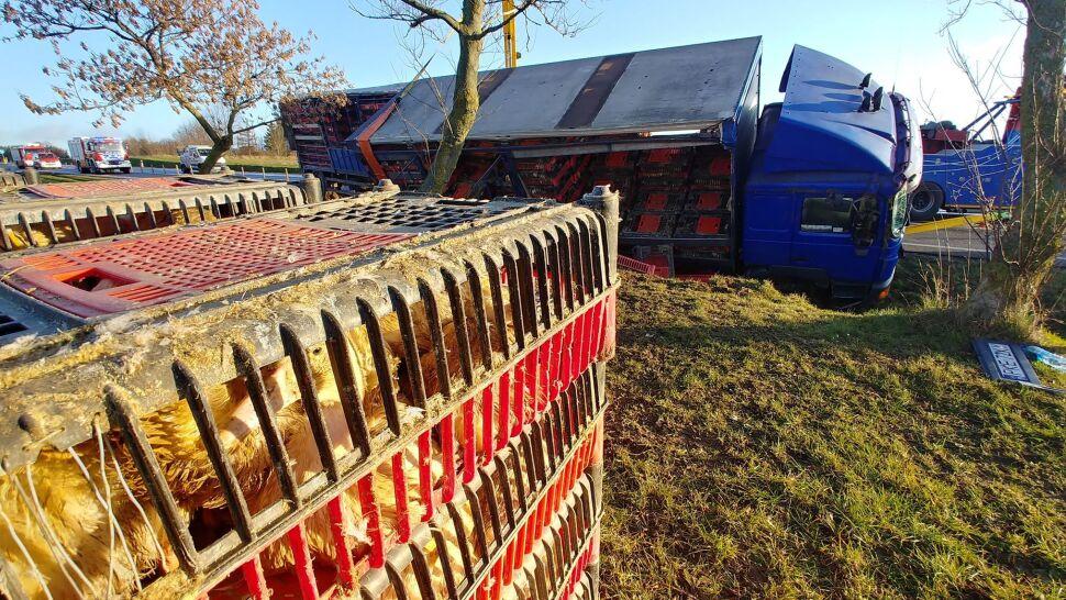 Ciężarówka z żywymi kaczkami wpadła do rowu. Ptaki się rozbiegły, wyłapywali je strażacy
