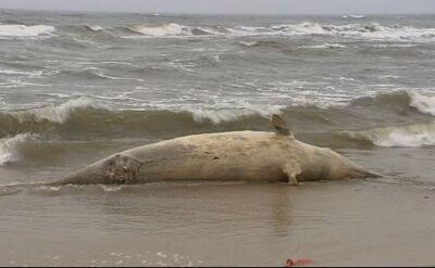"""Bałtyk wyrzucił na brzeg wieloryba. """"Kolos waży ponad tonę"""""""