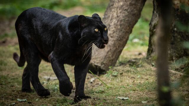 Duży czarny kot przeciął mu drogę. Czeska policja szuka