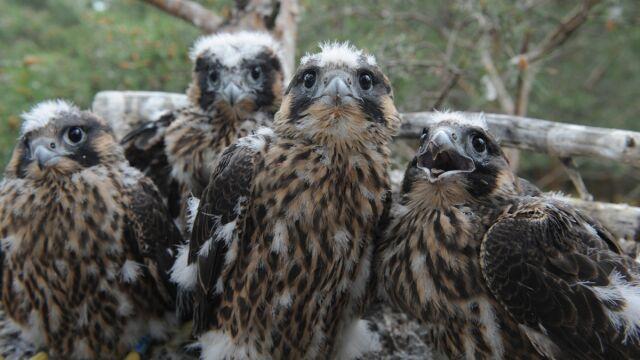 Sukces ornitologów. Cztery sokoły wędrowne wykluły się w sztucznym gnieździe