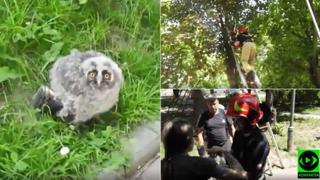 Młoda sowa wypadła z gniazda, pomogli jej strażacy