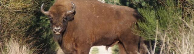 Żubr z odciętą głową znaleziony w lesie. Jest śledztwo
