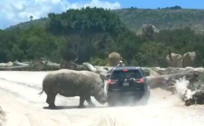 Niebezpieczne spotkanie z nosorożcem. Zaatakował samochód