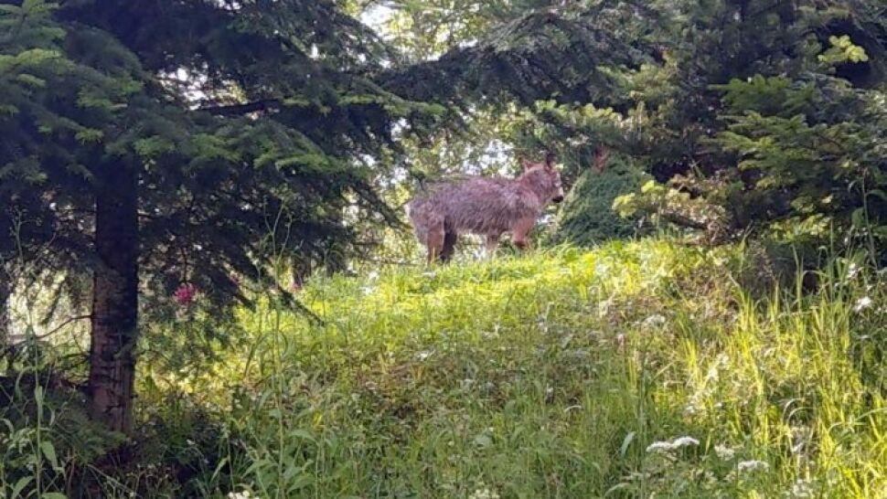 Wilk, który pogryzł dzieci w Bieszczadach, już wcześniej zaatakował człowieka
