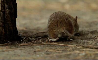 Walka ze szczurami