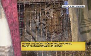 Dwa tygrysy zostały w ogrodzie zoologicznym w Człuchowie