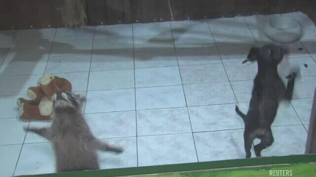 """Niecodzienna przyjaźń międzygatunkowa. """"Szop jest lepszym nauczycielem niż pies"""""""