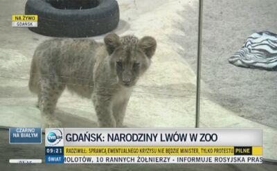 Młode lwiątka to trzy samce i samica