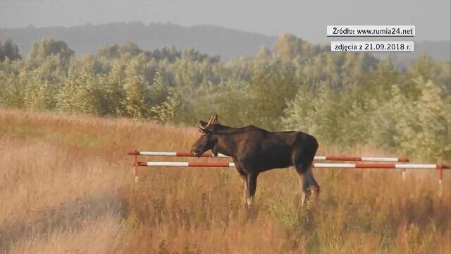 Łosie spacerujące przy drodze S7 w pobliżu miejscowości Kiezmark