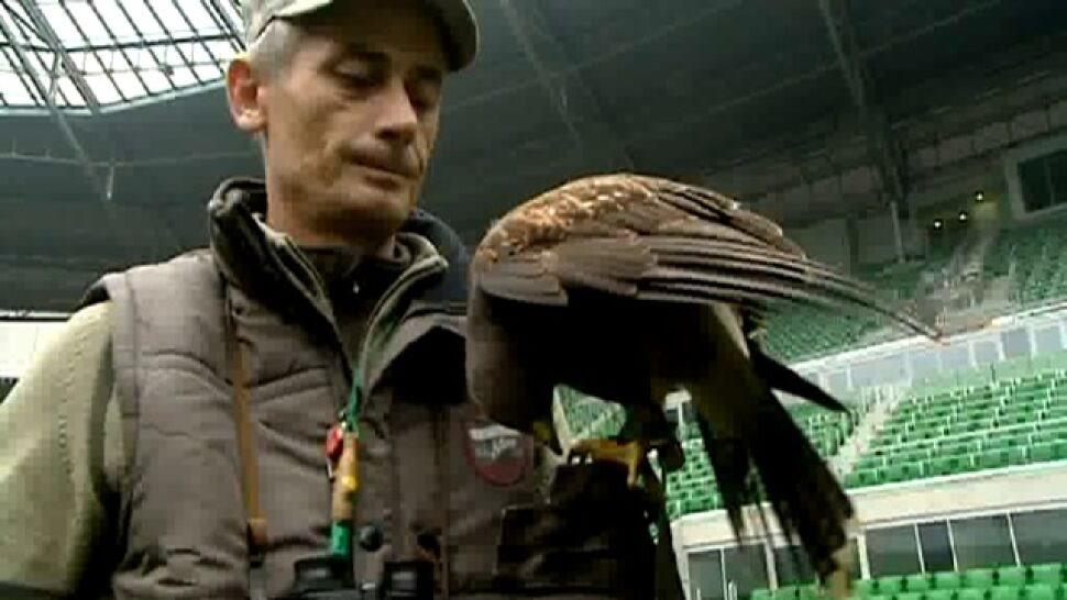 Jastrząb patroluje wrocławski stadion