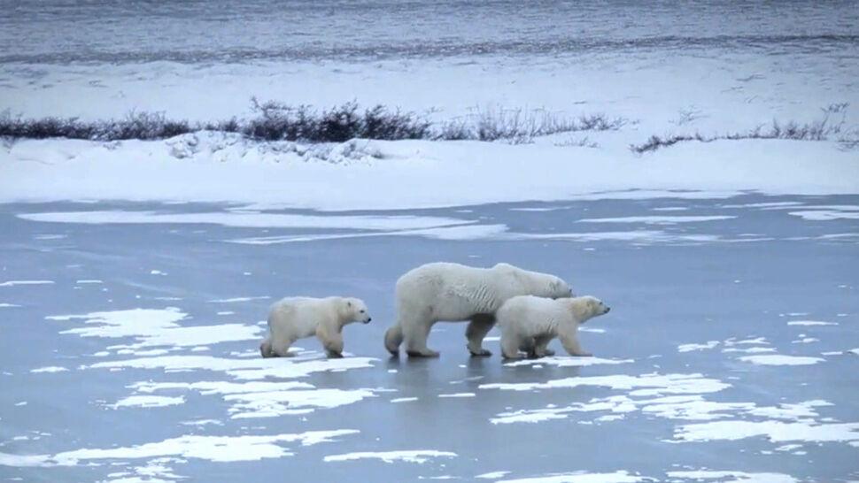 """Niedźwiedzie polarne zagrożone. """"Za 30 lat ich liczba drastycznie spadnie"""""""