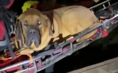Ratownicy znieśli z gór 90-kilogramowego mastifa