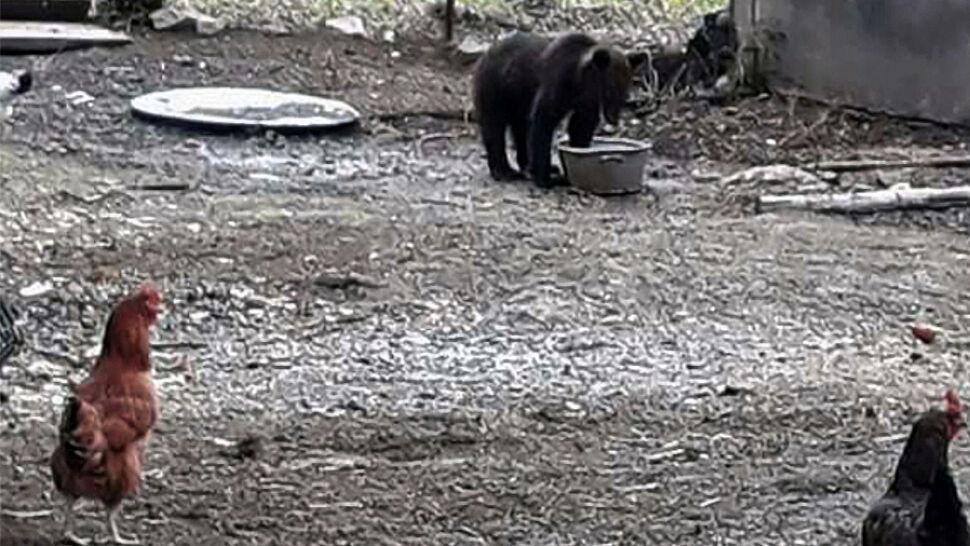 """""""Jak swój"""" przychodzi na posiłki. """"Dla niedźwiedzia to nie najlepsza sprawa"""""""