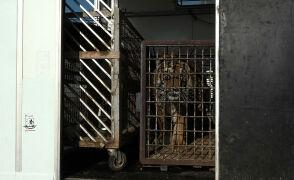 Tygrysy z granicy wyruszyły od Poznania