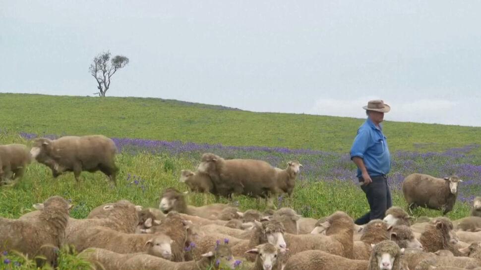 Hodowcy owiec w tarapatach. Przez pandemię spadają ceny wełny