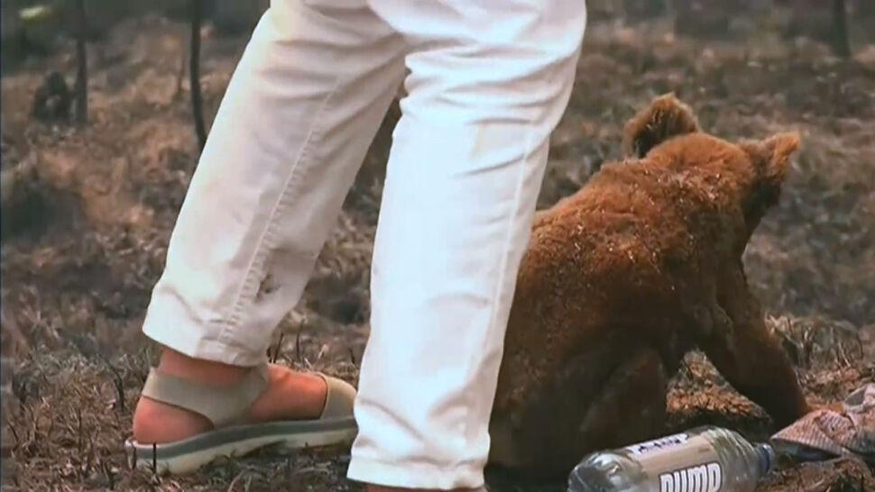 """""""Zobaczyłam bezbronne zwierzę, idące prosto w ogień"""". Kobieta uratowała koalę"""