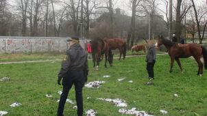Przechodziły przez ulicę, pasły się przed szkołą. Stado koni na gigancie