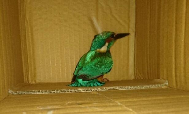 Zimorodek trafił do ptasiego azylu Tomasz Dudek, Referat ds. Ekologicznych