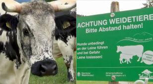Stawiają tabliczki, by ostrzec turystów. Przed pasącymi się krowami