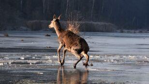 Młode jelenie utknęły na zamarzniętym jeziorze
