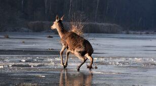 Młode jelenie utknęły na lodzie w Nadleśnictwie Hajnówka