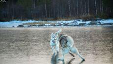 Syberyjski husky to rasa niezwykle energiczna i radosna