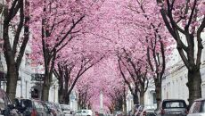 Kwitnące wiśnie w Bonn, Niemcy 2014 (facebook.com/KilianSchoenbergerPhotography)